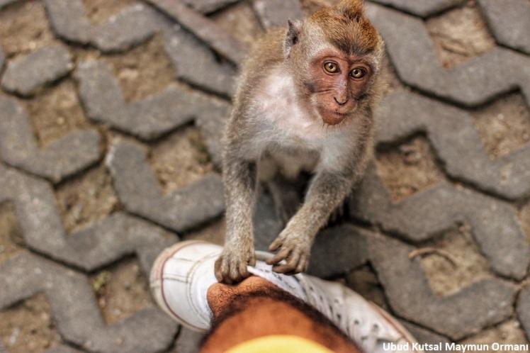 Monkey UBUD 5
